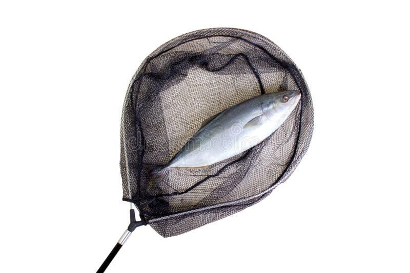 Fisk som fångas i det netto royaltyfri bild
