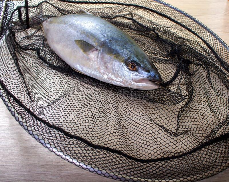 Fisk som fångas i det netto arkivfoton