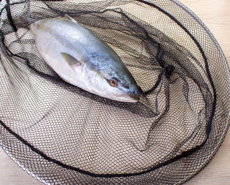 Fisk som fångas i det netto royaltyfria foton