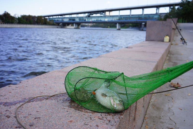 Fisk som fångas i Moskvafloden royaltyfri foto