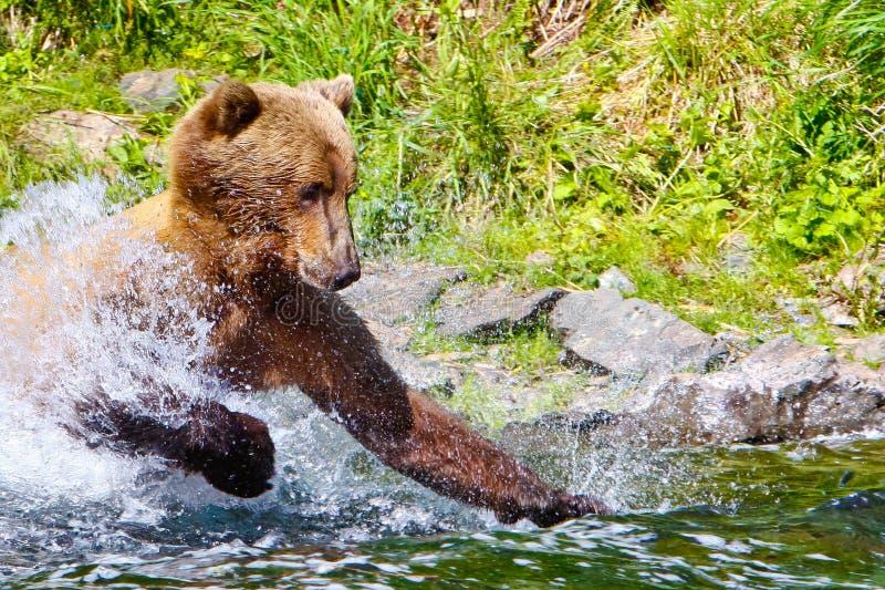 Fiska attack Alaska för brun Grizzlybjörn royaltyfri foto