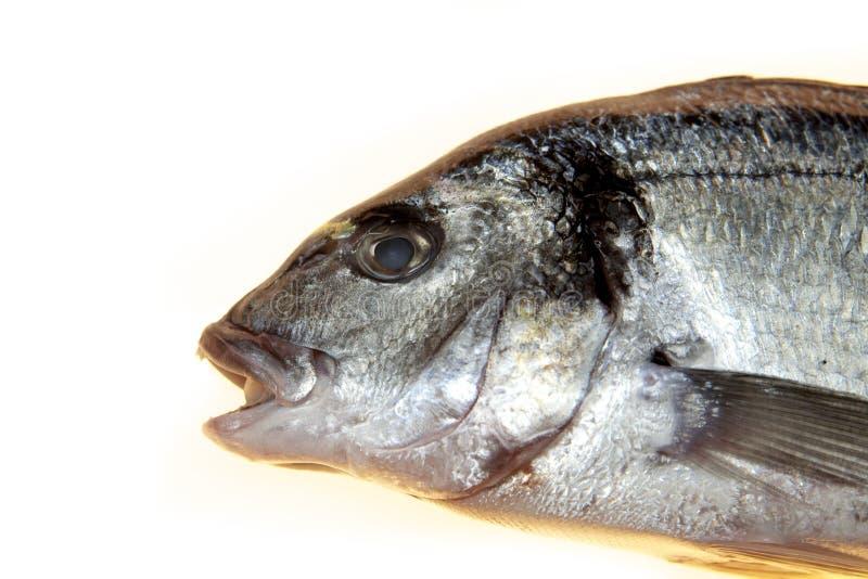 Fiska closeupen för havsbasen på en vit bakgrund Medelhavs- läcker ny fisk arkivfoton