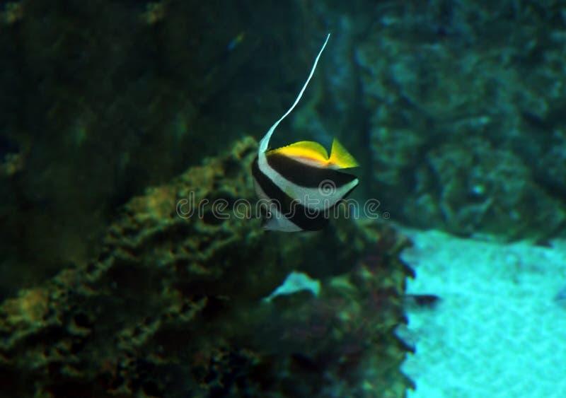 Fiska den Heniochus acuminatusen på det djupblå havet nära korallen royaltyfria bilder