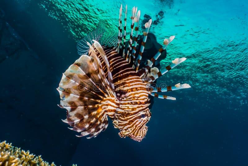 fiska det röda havet för lionen royaltyfri fotografi