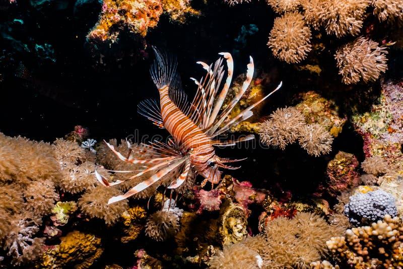 fiska det röda havet för lionen royaltyfri bild