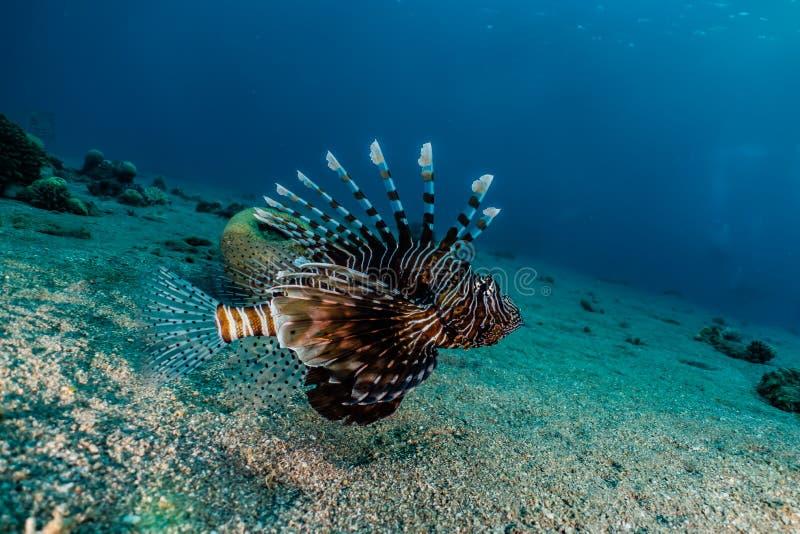 fiska det röda havet för lionen arkivfoto