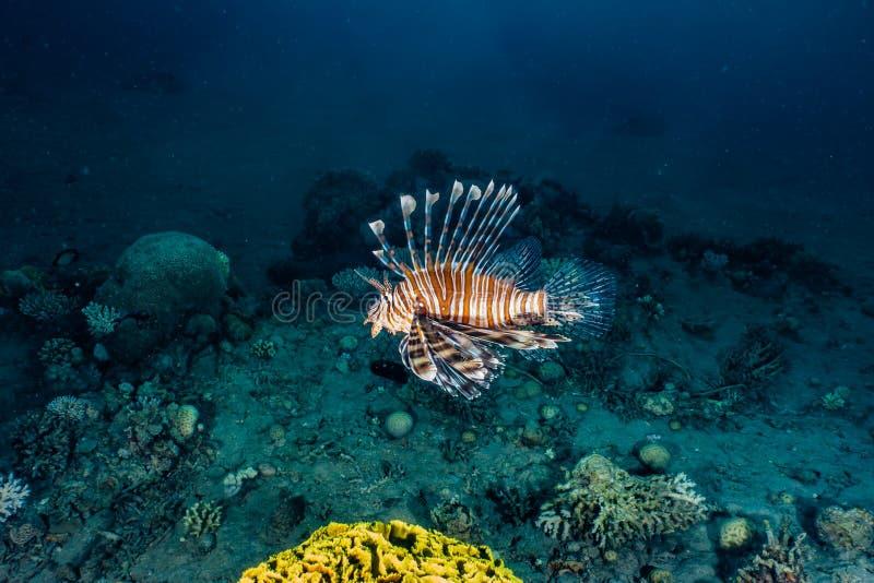 fiska det röda havet för lionen royaltyfria bilder