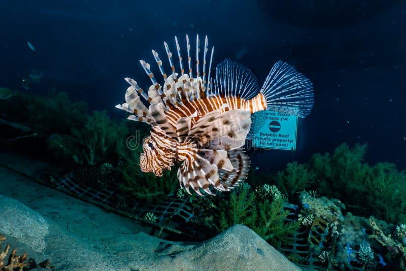 fiska det röda havet för lionen royaltyfria foton