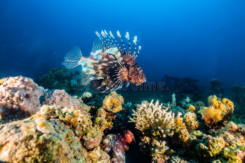 fiska det röda havet för lionen arkivbilder