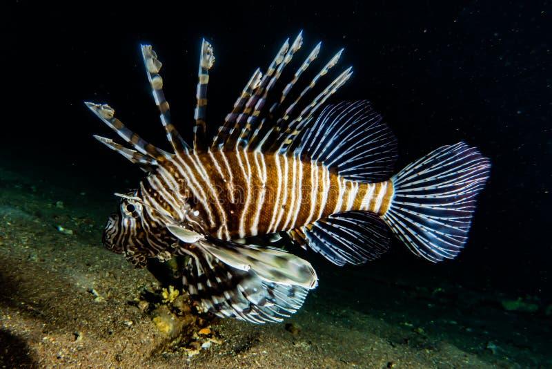 fiska det röda havet för lionen fotografering för bildbyråer