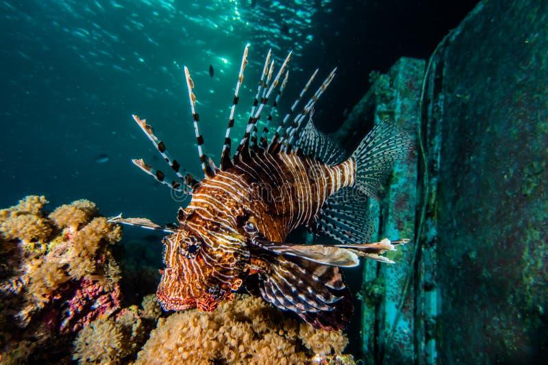 fiska det röda havet för lionen arkivfoton