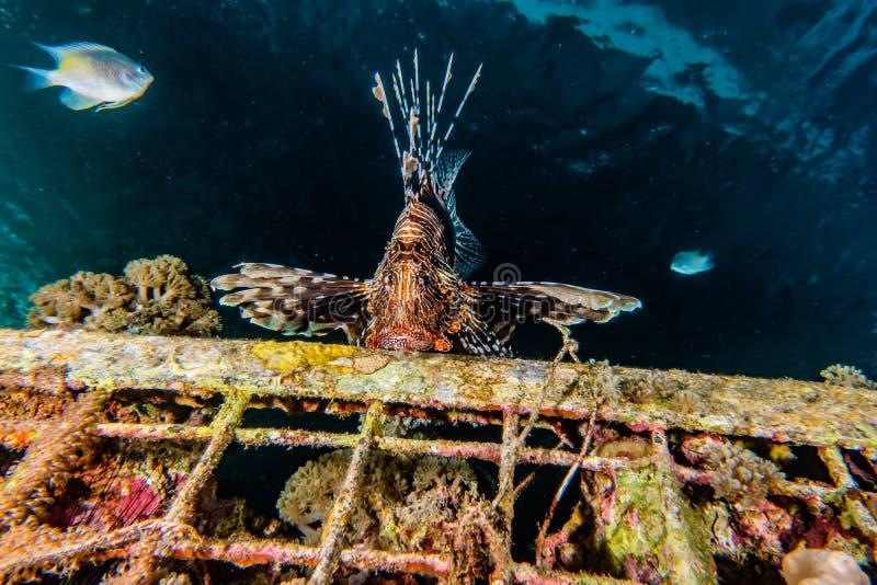 fiska det röda havet för lionen royaltyfri foto
