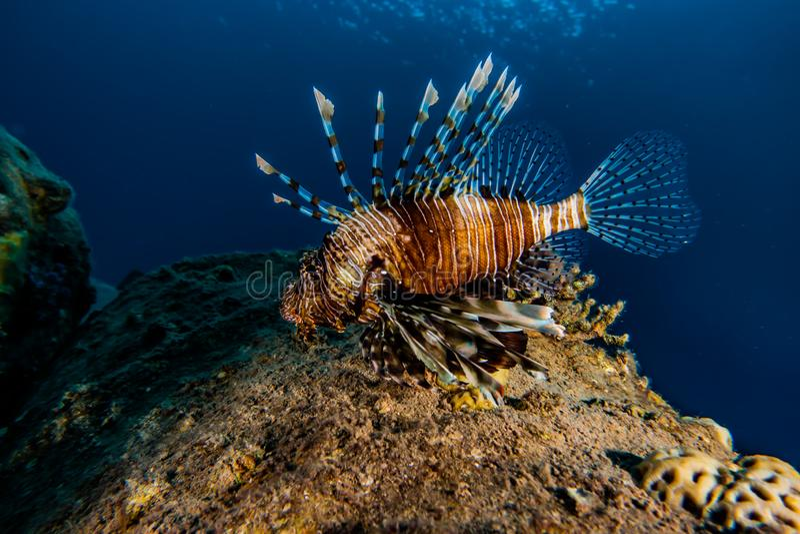 fiska det röda havet för lionen arkivbild