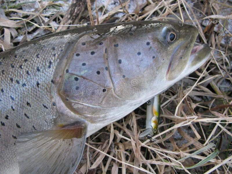 Fiska - Donaulaxlås på drag royaltyfri fotografi