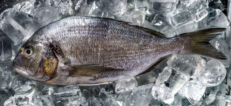 Fiska Dorada som är rå och som är ny på is, bästa sikt royaltyfri bild