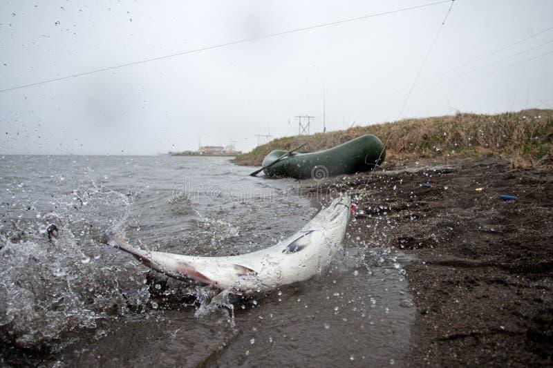 Fiska lax, Kamchatka halvö fotografering för bildbyråer