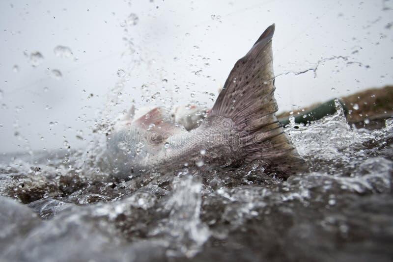 Fiska lax, Kamchatka halvö arkivbilder