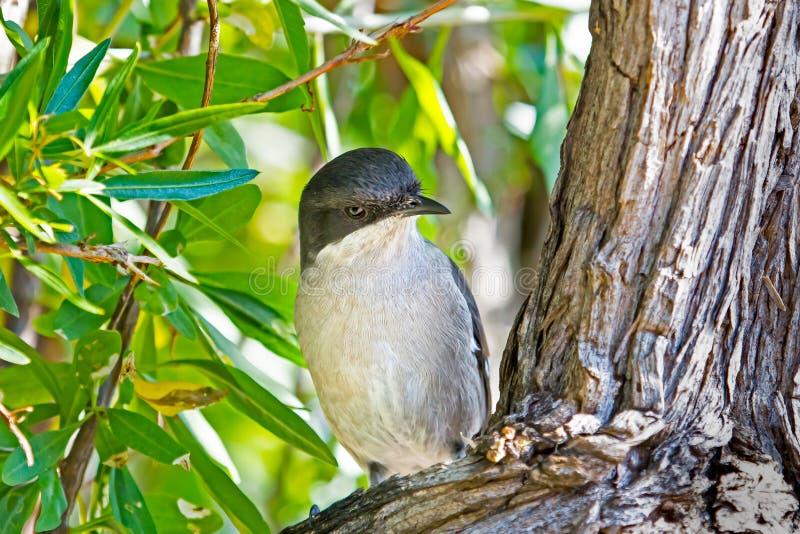 Fiskalny Flycatcher na gałąź w Karoo parku narodowym obraz stock
