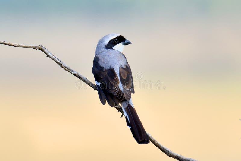 Fiskalny ptak na gałąź obraz stock