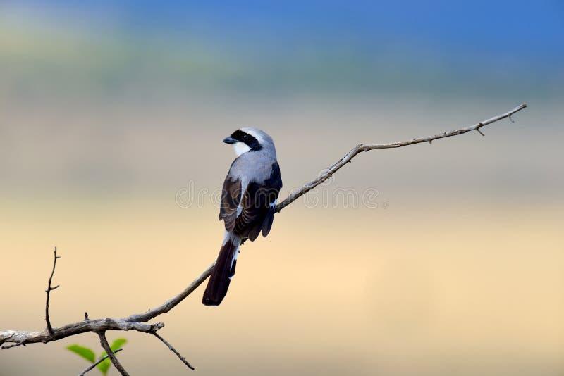 Fiskalny ptak na gałąź fotografia stock
