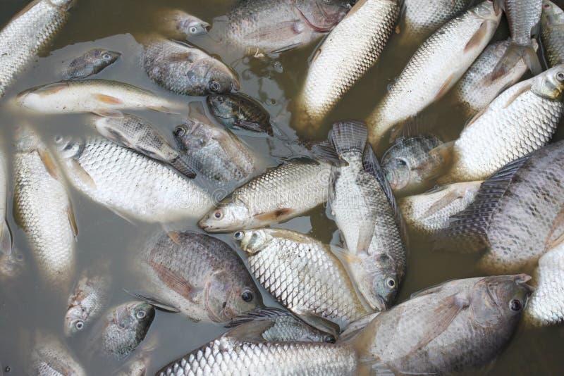 Fiskar dog därför att kloak arkivfoto
