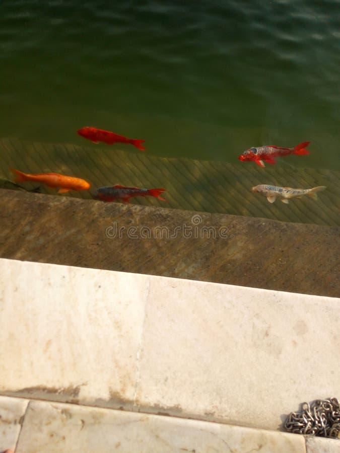 Fiskar i dammet p? den guld- templet Amritsar royaltyfri bild