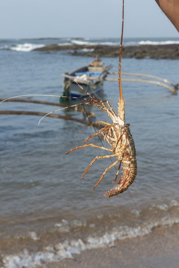 Fiskare som rymmer den nya humret på den Diveagar stranden i det Raigad området, Maharashtra, Indien royaltyfria foton