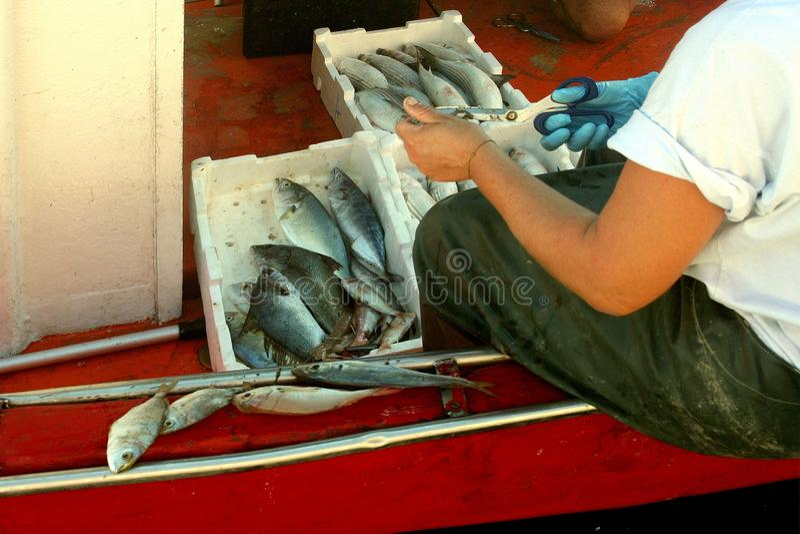 Fiskaren gör ren fisken på kanten av fiskebåten arkivbilder