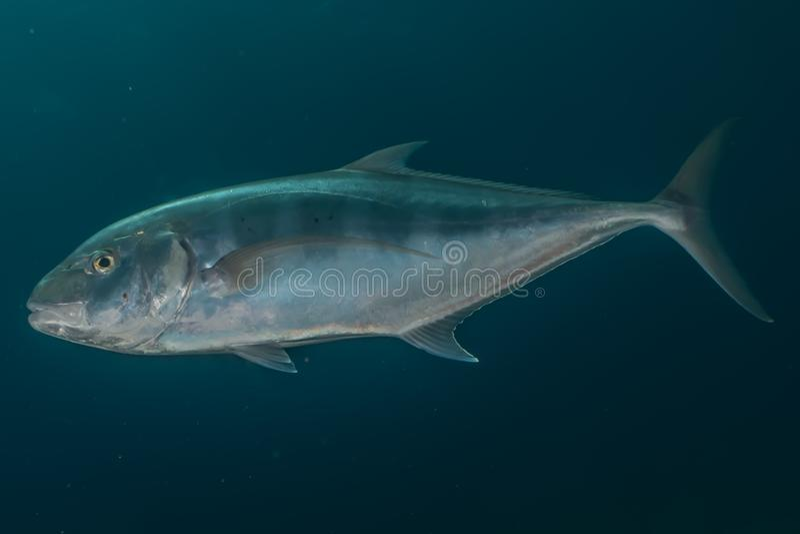Fiskbad i Röda havet, färgrik fisk royaltyfri illustrationer