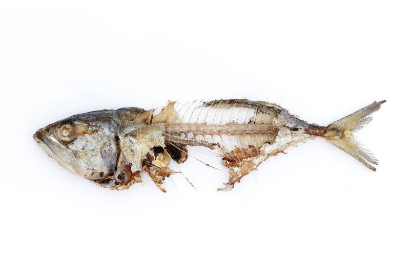 Fiskben royaltyfri bild