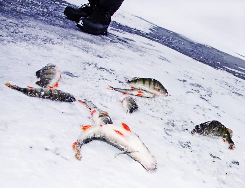 Fiskebas Till Och Med Is Arkivfoton