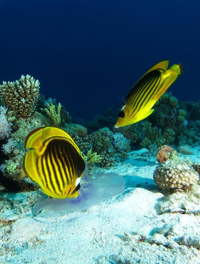 Fisken för två fjäril äter geléfisken över sanden royaltyfria bilder