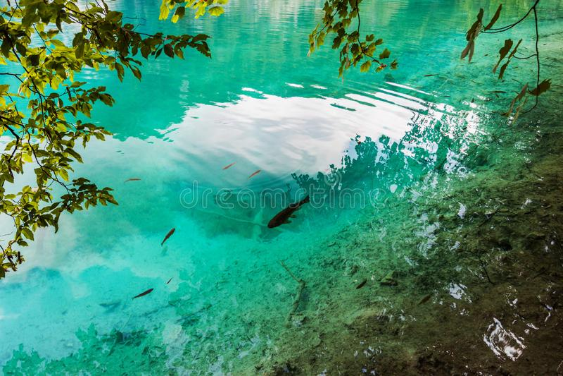 Fisken simmar i en skogsjö i det kristallklara turkosvattnet Plitvice nationalpark, Kroatien royaltyfri fotografi