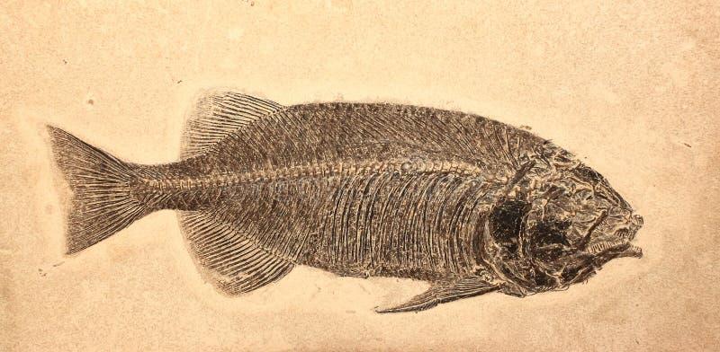 fiskfossil arkivbilder