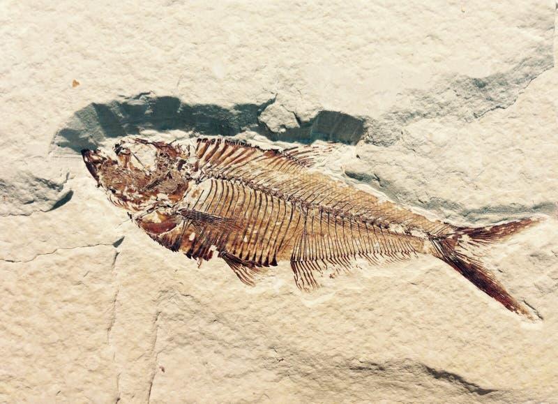 Fiskfossil i en vägg royaltyfri bild
