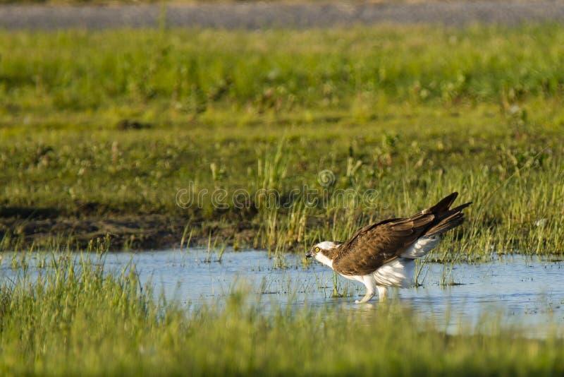 Fiskgjuse som står förbereda sig att ta flyg fotografering för bildbyråer
