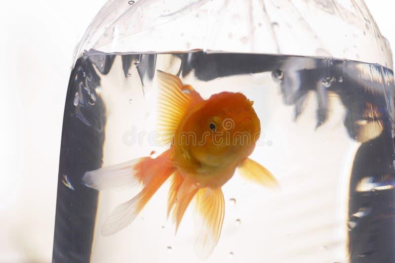 fiskguld royaltyfri bild