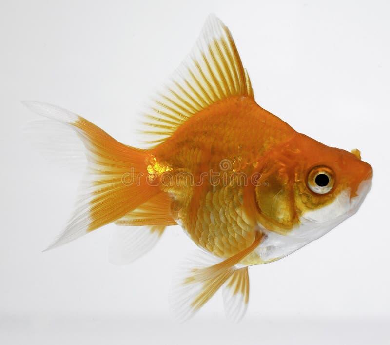 fiskguld arkivbild