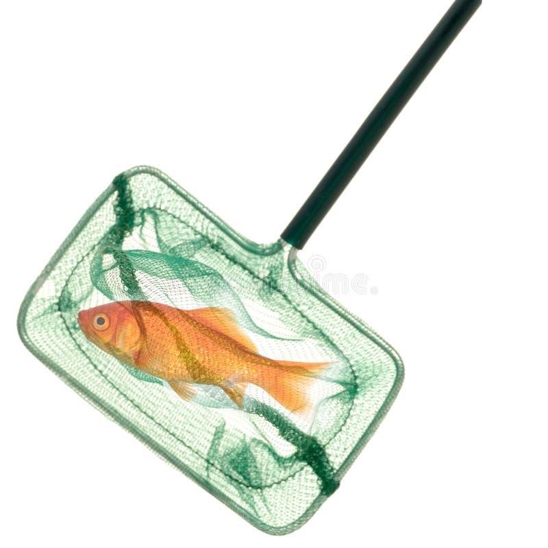 fiskguld förtjänar royaltyfri fotografi