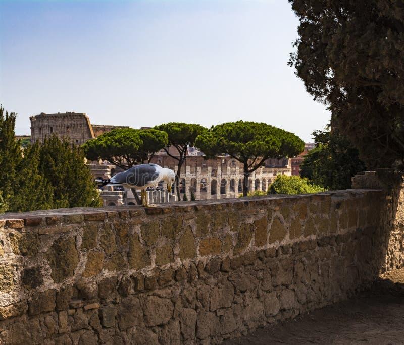 Fiskmås på framtidsutsikten med Colosseum Seagull som håller ögonen på Rome med Colosseum Fågel i Roman Forum, det historiska cen royaltyfria bilder