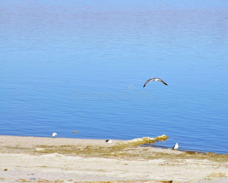 Fiskmås som flyger över det Salton havet arkivbilder