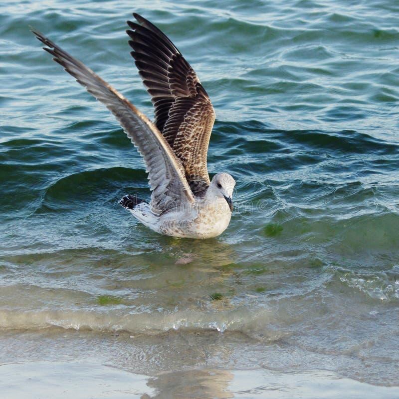 Fiskmåsar och albatrossar Liv av seabirds royaltyfri foto