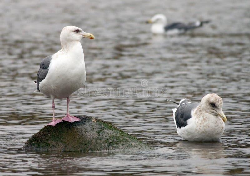 Download Fiskmåsar tre arkivfoto. Bild av vatten, djurliv, fjäder - 506432