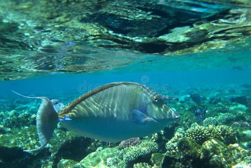 fisknoshörning arkivbilder