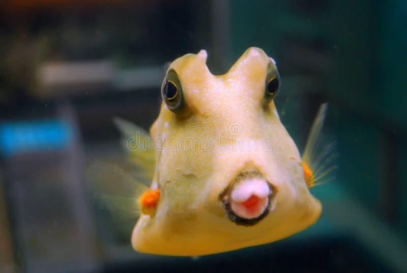 fiskpuffer arkivbild