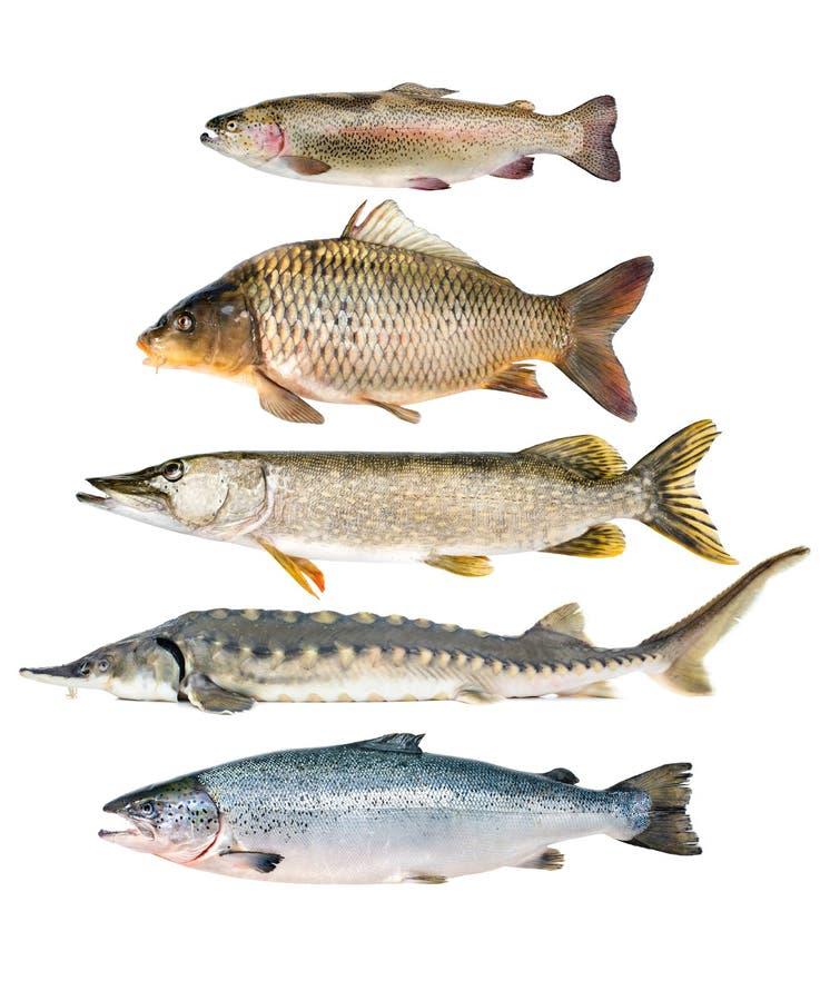 Fisksamling royaltyfri bild