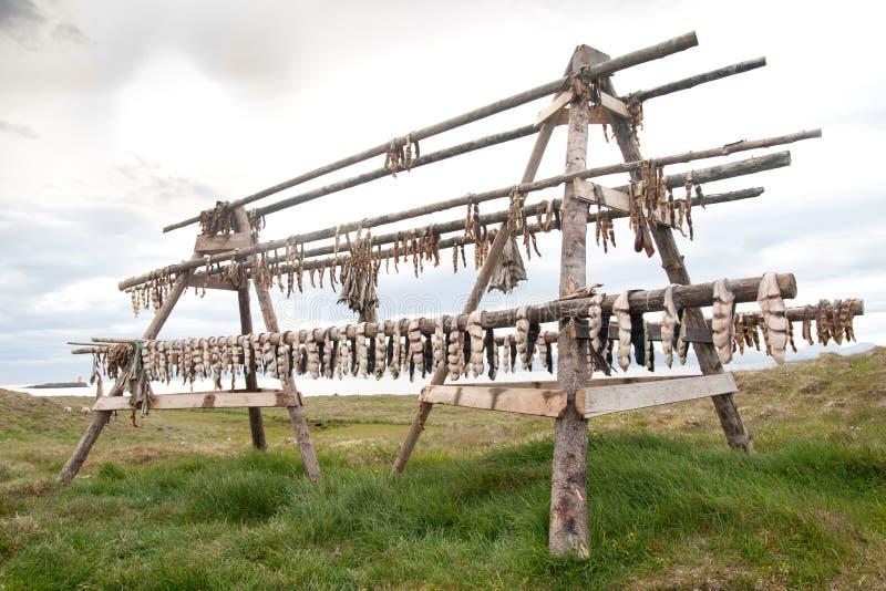 Fiskuttorkning på den Flatey ön, Island royaltyfri fotografi