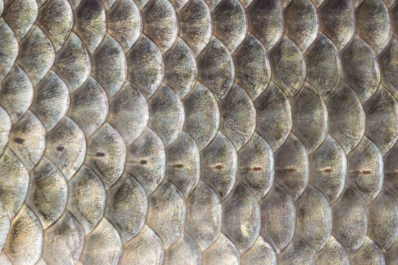 Fiskvåg, bakgrund för crucian karp, cartilaginous fisk, makro, närbild arkivbild