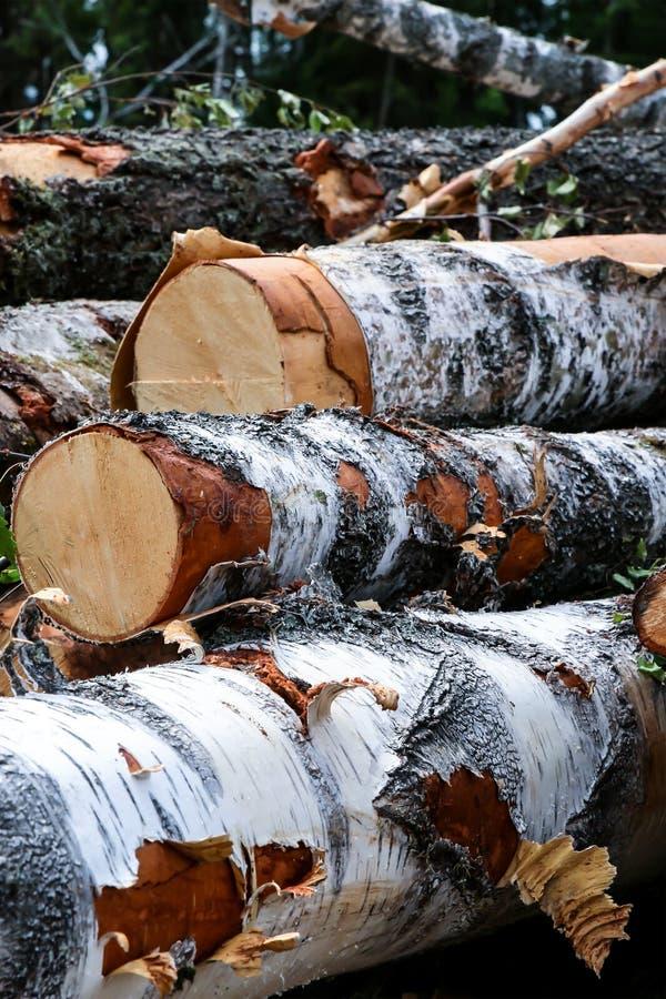 Fissare i tronchi di betulla disboscando materiale da costruzione bianco nero fotografie stock libere da diritti