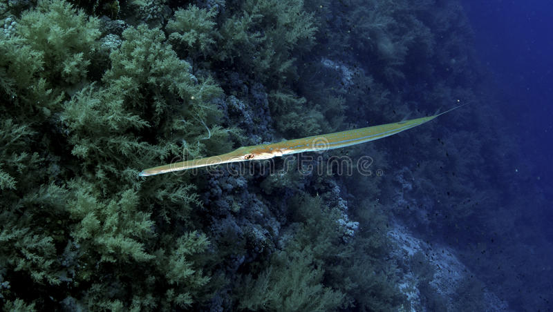 Fistularia commersonii. Or Bluespotted cornetfish in the Red sea stock photos